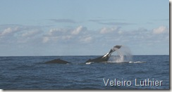 Baleia - Abrolhos 1
