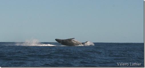 Baleia - Abrolhos 3